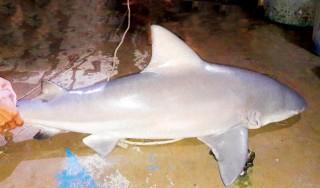 Chuyện săn cá mập ở Vàm Nao