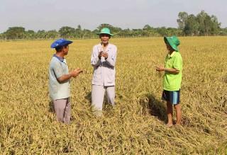 Ít hợp đồng xuất khẩu, lúa trên đồng giảm giá mạnh