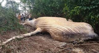 Các nhà khoa học bối rối khi phát hiện xác cá voi khổng lồ bí ẩn trong rừng rậm Amazon