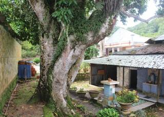 Độc, lạ cây ngọc lan hơn 200 tuổi trên núi Cấm