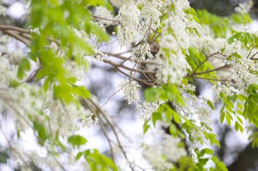 Tháng 3 - mùa hoa sưa nở trắng trời Hà Nội