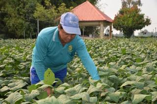 Trồng đậu nành rau, lãi trên 40 triệu đồng/ha