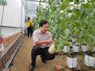 Liên kết trồng dưa lưới, hiệu quả bền vững