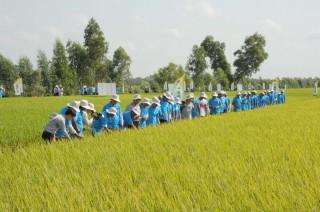 Liên kết sản xuất lúa là hướng phát triển bền vững