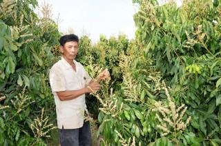 Phát triển kinh tế từ cây nhãn Ido
