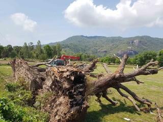 Cần giữ gìn cây trâm vùng Bảy Núi