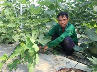 Độc đáo mô hình trồng cây sung Mỹ và dưa lưới công nghệ cao