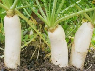 Tại sao củ cải được ví như 'nhân sâm trắng'?