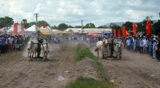 Hấp dẫn giải đua bò tốc độ huyện Tịnh Biên