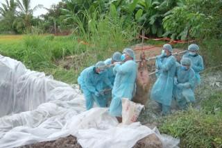 Tiêu hủy thêm 36 con heo nghi ngờ mắc bệnh dịch tả heo Châu Phi