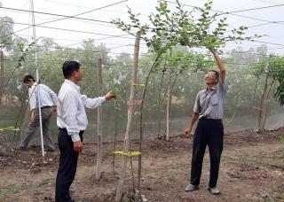 Châu Phú thí điểm trồng táo trong nhà lưới