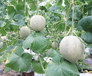 Khởi nghiệp với mô hình trồng dưa lưới