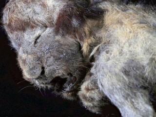 Tìm thấy xác sư tử và chó sói 30.000 năm trước