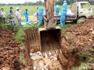 An Phú tập trung kiểm soát bệnh dịch tả heo Châu Phi