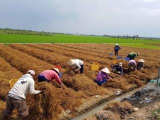Chuyển dịch cây trồng ở huyện cù lao Chợ Mới
