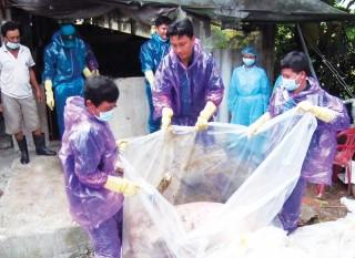 Long Xuyên: Tiêu hủy 635 con heo bệnh
