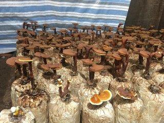 Đa dạng sản phẩm từ nấm linh chi