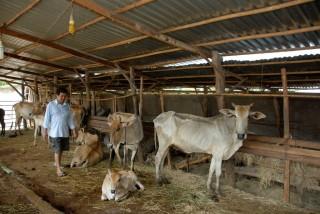 Tận dụng rơm nuôi bò, tại sao không ?