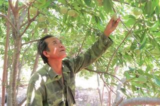 Những vườn cây ăn trái trên Phụng Hoàng Sơn