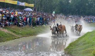 Dựng tượng đôi bò bằng kích thước thật tại sân đua bò Tri Tôn