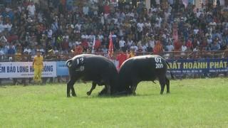 Lễ hội chọi trâu truyền thống Đồ Sơn thu hút hàng vạn khán giả