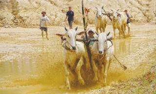 Sẵn sàng cho ngày hội đua bò Bảy Núi