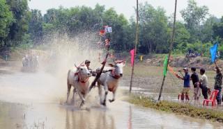 Nô nức hội đua bò chùa Rô