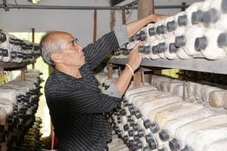 Châu Thành: Trồng nấm ăn theo hướng công nghệ cao