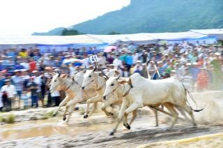 Sôi nổi Hội đua bò Bảy Núi tranh Cúp Truyền hình An Giang lần thứ 26 năm 2019