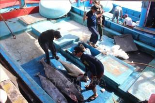 Xuất khẩu cá ngừ đại dương tăng trưởng khá