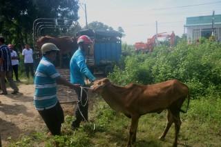 Trao 24 con bò cho hộ nghèo xã Ô Lâm