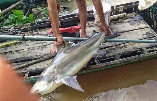 Người dân Lai Vung bắt được cá lạ giống cá mập