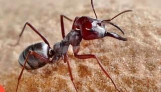 Kỳ lạ loài kiến nhanh nhất thế giới, mỗi giây chạy được 1 mét