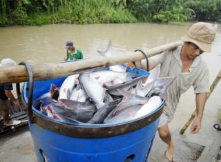 Hoa Kỳ giảm thuế xuống 0%, xuất khẩu cá tra Việt Nam sẽ khởi sắc
