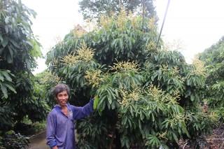 Trồng nhãn Ido ứng dụng công nghệ cao kết hợp trồng lúa thông minh