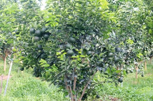 Gắn kết doanh nghiệp tiêu thụ trái cây