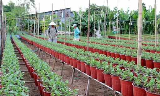 Phú Tân: Nông dân trồng hoa phục vụ thị trường Tết