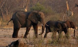 Hơn 200 con voi ở Zimbabwe bị chết vì hạn hán