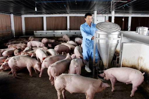 Nghề chăn nuôi heo bao giờ hết bấp bênh?