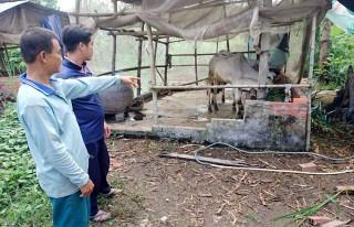 Chợ Mới: Nhiều hộ gia đình trắng tay do bò chết đột ngột
