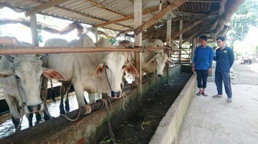 Khẩn trương triển khai các biện pháp phòng, chống bệnh lở mồm long móng trên đàn gia súc