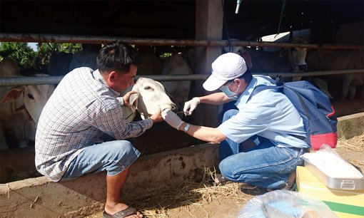 Triển khai các biện pháp phòng, chống dịch bệnh lở mồm long móng trên đàn gia súc