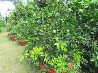 Nông dân trồng cam trong chậu làm kiểng bán Tết