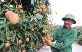 Vải thiều xuất khẩu sang Nhật: Mở đường cho các loại trái cây khác?