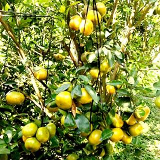 Nông dân Vĩnh An cung ứng 30 tấn cam, quýt Tết