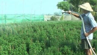 Nông dân Thoại Sơn chuẩn bị hoa Tết
