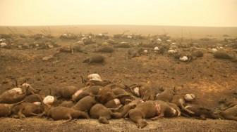 Xác chết động vật khổng lồ la liệt ở Australia