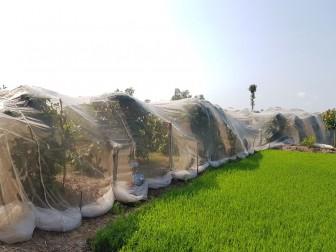 Hiệu quả trồng mận trong mùng lưới
