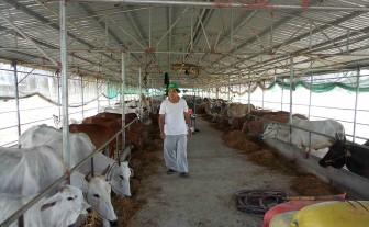 Cơ hội phát triển đàn bò ở An Giang