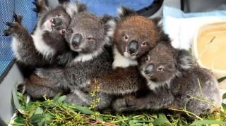 Trường học trở thành bệnh viện dã chiến cho gấu koala tại Australia